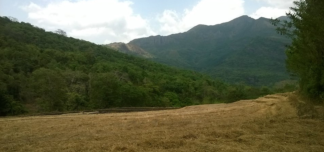Dry paddy field  during dry season